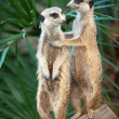 Meerkats - Stock Photo