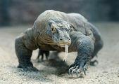 コモドドラゴン — ストック写真