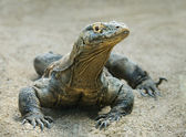 Komodo dragon — Stockfoto