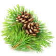 Pine branch — Stock Photo #21900079