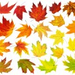 Colorful maple leaves — Stock Photo #31271721
