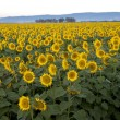Sunflower field — Stock Photo #12498852