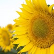 Stock Photo: Sunflower closeup