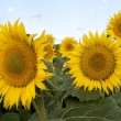 Sunflowers - Photo
