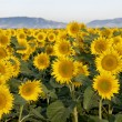 Sunflower field - Photo