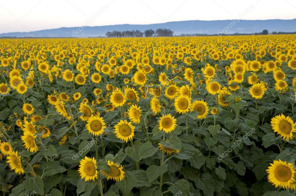 Early morning shot of a field of sunflowers, central valley or California, hills in the background — Stock Photo #12498852