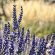 Lavender closeup — Stockfoto
