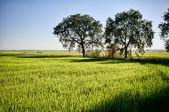 Rice fields california — Stock Photo