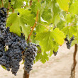 Grapes on the vine — Stock Photo #2239898