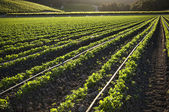 Morning farmland, crop growing in rows — Stock Photo