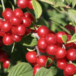 Wild cherry — Stock Photo