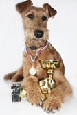 The Irish terrier with a cup of the winner — Stock Photo