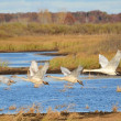 Four Trumpeter Swans Taking Flight — Stock Photo