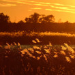 Backlit Native Grasses at Sunset — Foto Stock