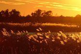 Backlit Native Grasses at Sunset — Stock Photo