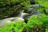 Ferns by Forest Stream — Stock Photo
