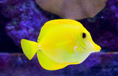 Yellow Tang — Stock Photo