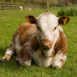 Stock Photo: Young calf