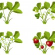 Strawberry growth phases — Stock Vector