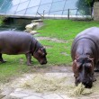 Hippopotamuses — Stock Photo