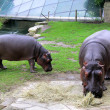 Hippopotamuses — Stock Photo #39089761