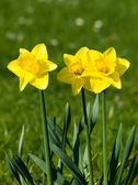 Group of daffodils — Stock Photo
