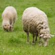 Sheeps on pasture — Stock Photo