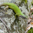 European green lizard (Lacerta viridis) — Stock Photo