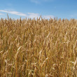 Field with gold grain — Stock Photo
