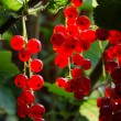 Stock Photo: Branch full of fresh red currant