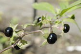 Detail of highly toxic Belladonna fruit — Stock Photo
