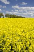 Field of yellow flowering rape — Stock Photo