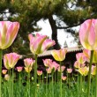 Blooming tulip flower in garden — Stock Photo