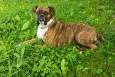 Boxer hund — Stockfoto