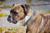 Boxer dog — Stockfoto