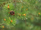Natural background, close-up pine on the green — Stock Photo