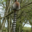 Stock Photo: Ring tailed lemur