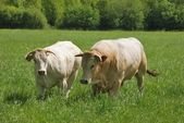Cows in meadows — Stock Photo