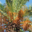 Date palm — Stock Photo #29820125