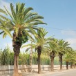 Date palm — Stock Photo #30384141