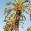 Date palm — Stock Photo #30384383