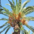 Date palm — Stock Photo #30384553