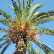 Date palm — Stock Photo #30384669