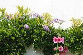 Wisteria and Garden hollyhock lcea Althea rosea — Stock Photo