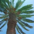 Stock Photo: Date palm