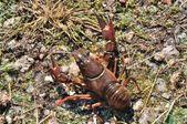 Crayfish in a pond — Foto de Stock
