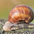 Burgundy snail — Stock Photo #32292873