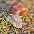 Burgundy snail — Stock Photo