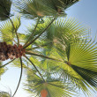 Date palm — Stock Photo #33112849
