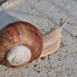 Burgundy snail — Stock Photo #33112959